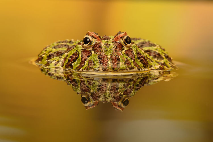 Close-up of frog on water
