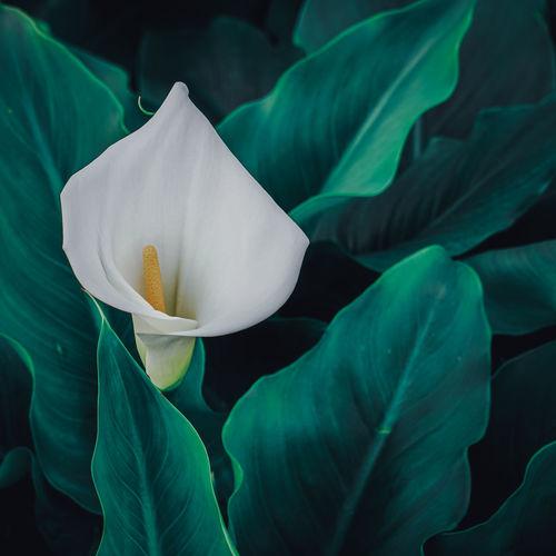 Beautiful lily calla flower in the garden in spring season