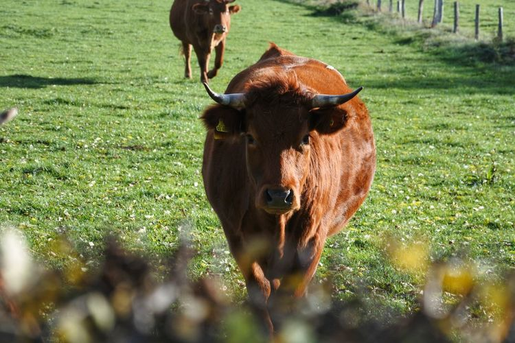 Horns Cow Cattle Grass Livestock Domestic Cattle
