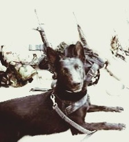 Service Animals Dutch EDD Dog Explosion Detective Dog Warzone