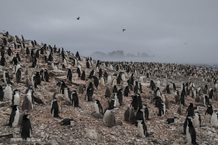 Chinstrap penguin colony on low island, antarctica.