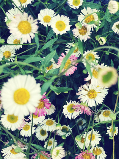 High angle view of daisy flowers