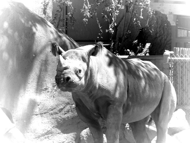 Animal Themes One Animal Close-up Outdoors Nature No People Black And White Collection  Black And White Photography Animal Wildlife Endangered Animals Endangered Species Zoo Animals  Black Rhino Zoo Beauty In Nature Animals In The Wild Horns Backgrounds
