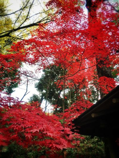 Red Leaves Japanese Maple Nature