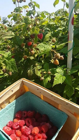 Raspberry Picking Raspberries Yum Good Tastey Fruit Delicious Farm Fresh Growth Nature Food Outdoors Beautiful Photography August Jrosemarieb 2017 Summer CLE  Outdoor Photography Cleveland Day Plant