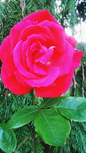 Red rose. Phone