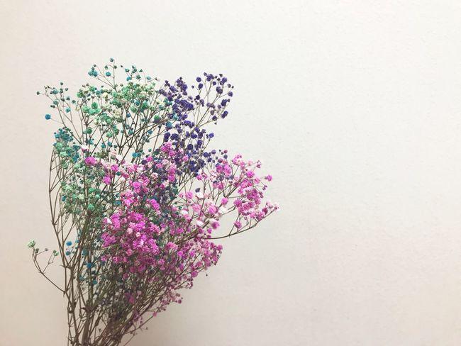 Flower Colorful Pink Color Pink Green Green Color Blue Blue Color Violet Babysbreath Gypsophila