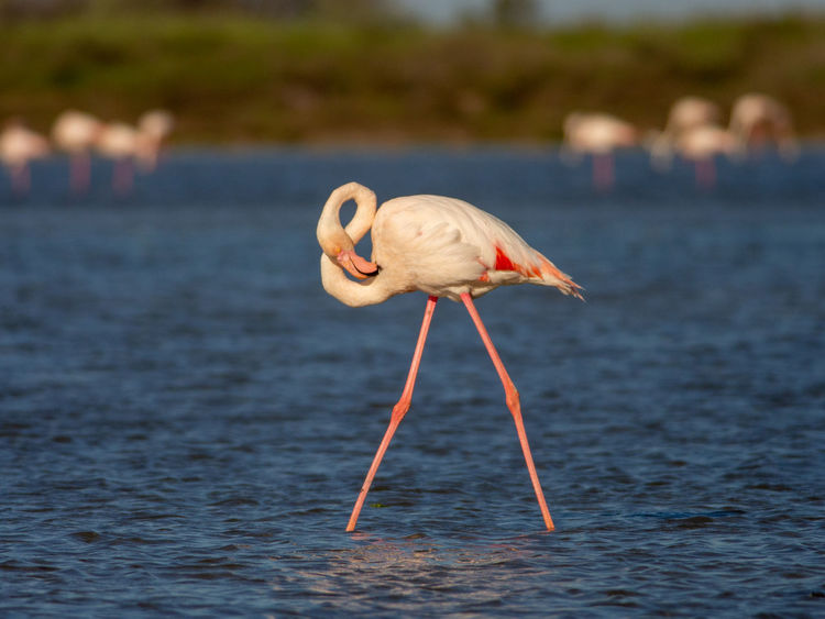 Greater Flamingo in Camargue Animal Animal Themes Animal Wildlife Animals In The Wild Beauty In Nature BIG Bird Camargue Camarque Close-up Color Day Europe Flamingo Flamingoes Focus On Foreground France Greater Greater Flamingo Lake Nature One Animal Outdoors Phoenicopterus Roseus Pink Red Water White Wildlife