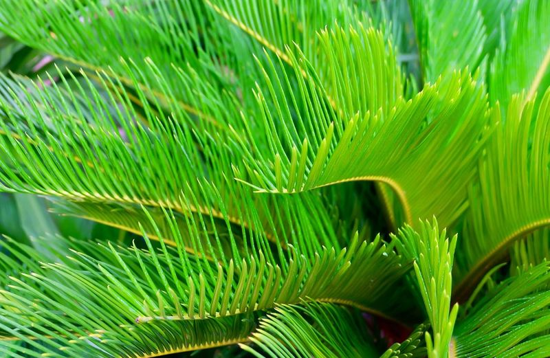 Green Tree and Plant of Cycas Revoluta, or Japanese Sago Palm for Garden Decoration. Nature Garden Beautiful Flora Leaf Green Background Tree Bush Palm Natural Forest Decoration Exotic King Floral Plant Rainforest Fresh Tropical Cycad Growth Japanese  Branch Stem Closeup Environmental Ecology Hedge Ornamental Environment Freshness Botanical Element Scenics Evergreen Botany Scented Sago Decorative Frond Shrub Houseplant Cycas Leafy Dioon Lush Foliage Revoluta Cycadaceae