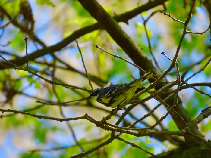 Bird yellow warbler perched in a tree bare branches green leaves blue sky focus on the foreground birdwatching beauty in nature outdoors Animal Themes One Animal Low Angle View No People