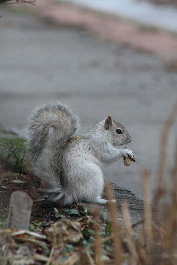 Close-up of squirrel on land