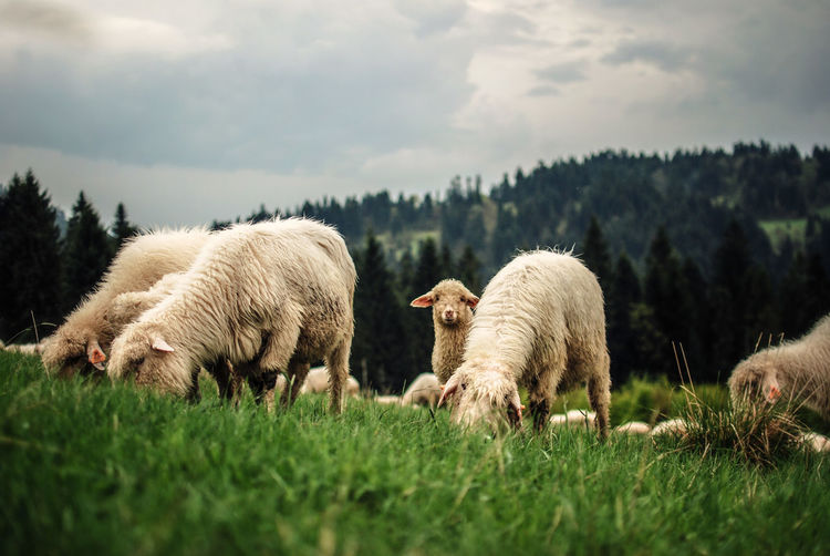 Animals EyeEm Gallery EyeEm Nature Lover Farm Lamb Light And Shadow Livestock Mountains Sheep
