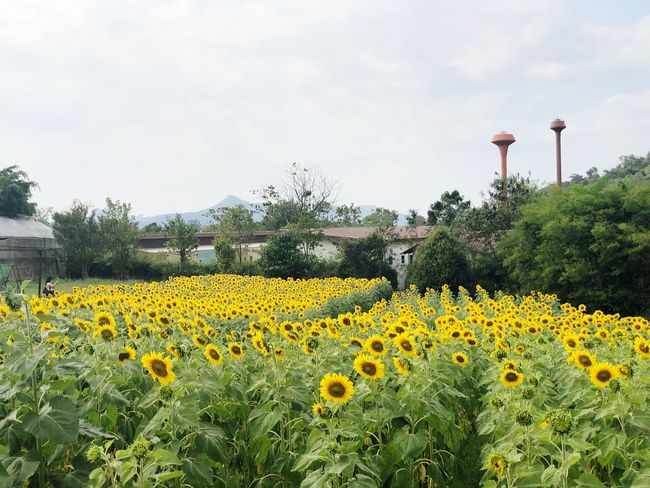 The Bloom Thailand The Bloom Sunflower Photography Sunflowers🌻 Plant Yellow Flower Growth Flowering Plant Beauty In Nature Fragility Sky Freshness Flower Head Cloud - Sky Sunflower Field Tree