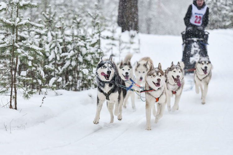 Man dogsledding on snow covered land during winter