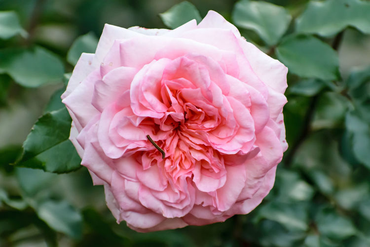 Beauty In Nature Blooming Close-up Day Flower Flower Head Focus On Foreground Fragility Freshness Garden Growth Nature No People Outdoors Peony  Petal Pink Color Plant Rose - Flower