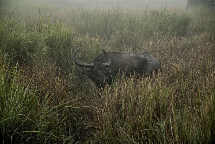 Water buffalo in grass
