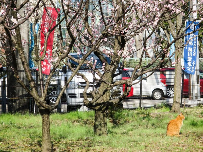 Ume2015 Ume Tree Stray Cat Cat Catsagram Cat Watching at Minatoku in Tokyo Japan