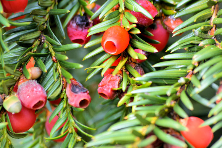 Yew Tree Close-up Day Freshness Full Frame Green Color Growth Leaf Nature No People Outdoors Yew Yew Berries