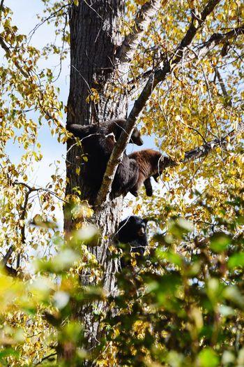 Bear on a tree British Columbia Hiking Hikingadventures Beauty In Nature Animals In The Wild Wells Gray Provincial Park Kanada Canada Yellow Fall Wanderlust Braunbär Bear Bird Tree Branch Perching Leaf Animal Themes Sky Grizzly Bear Cub Tree Trunk