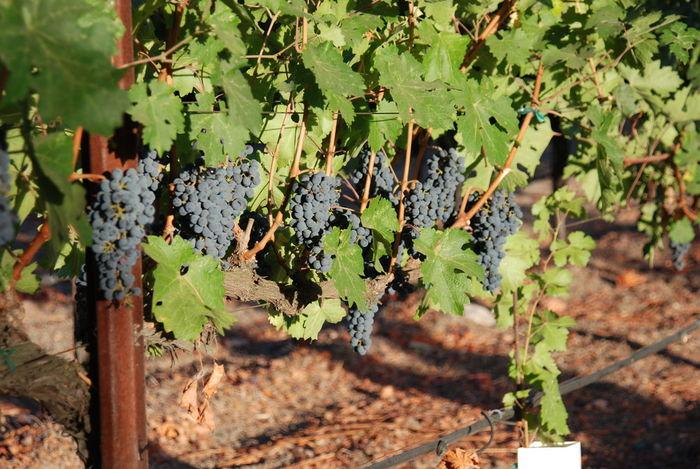 Cabernetsauvignon Crushtime Harvest Time NapaValley Napavalleytrailroad OakvilleCA Ripe Fruit Winegrapes