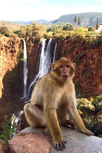 Macaque Monkey Waterfall North Africa Morocco Maghreb Canyon The Week On EyeEm