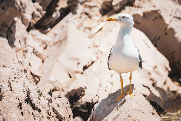 Croatia Animal Animal Themes Animal Wildlife Animals In The Wild Bird Close-up Day Focus On Foreground Hrvatska Land Nature No People One Animal Outdoors Rock Rock - Object Seagull Solid Standing Vertebrate White Color