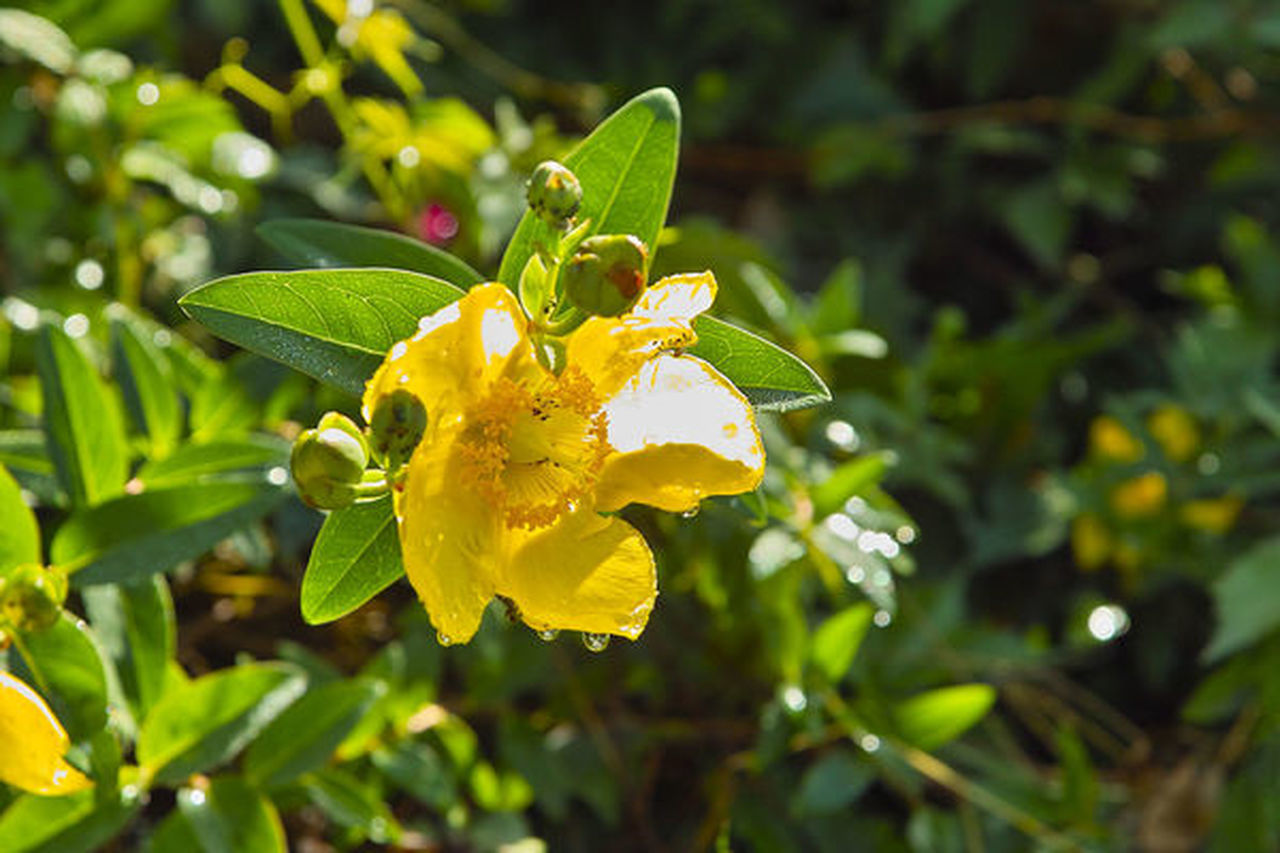 CLOSE-UP OF RAINDROPS ON YELLOW FLOWERING PLANTS