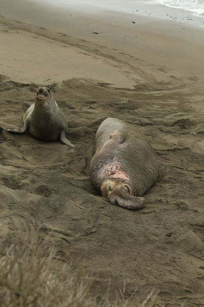 Animal Themes Animals In The Wild Beach California Day Domestic Animals Elephant Seals High Angle View Lying Down Mammal Nature One Animal Outdoors Relaxation Resting Sand Sea Shore Sunlight Water Wildlife Zoology