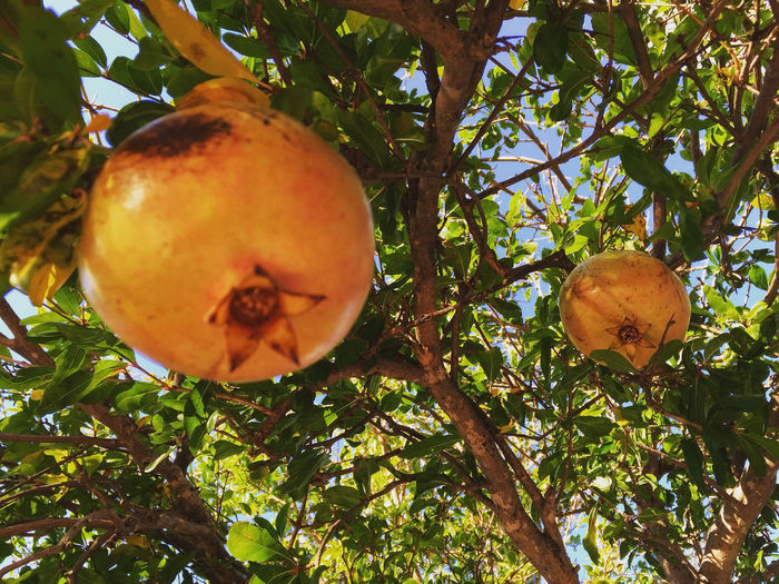 Ripe pomegranates on tree Branch Close-up Day Exotic Fruit Growth Hanging Leaf Low Angle View Mediterranean Food Nature Outdoors Plant Pomegranates  Pomegrante  Raw Ripe Sunlight Tree