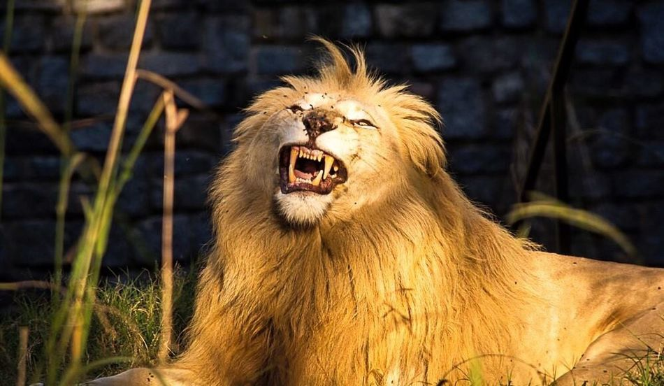 Mouth Open Aggression  Anger Animals In The Wild Animal Themes One Animal Roaring Mammal Animal Wildlife No People Outdoors Lion - Feline Day Nature Close-up