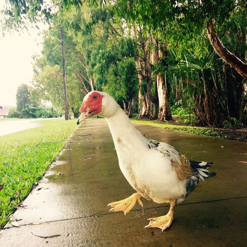 Quack Duck Quack Quack