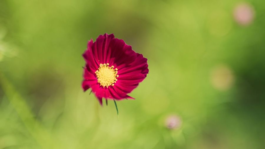 Flower Flowering Plant Plant Freshness Beauty In Nature Fragility Vulnerability  Petal Inflorescence Flower Head Close-up Growth Nature No People Pink Color Focus On Foreground Pollen Day Red Sepal