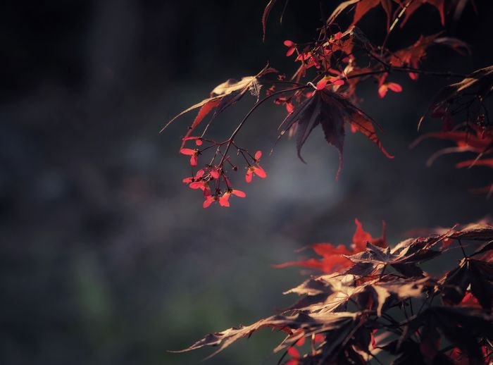 Bloodgood maple Leaf Plant Part Autumn Plant Nature Tree Red Beauty In Nature Branch Focus On Foreground Growth Close-up Day Outdoors No People Leaves Tranquility Fragility Twig