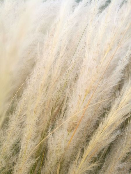 Ornamental Grasses Grasses Decorative Plants Softness Summer Grass Backgrounds