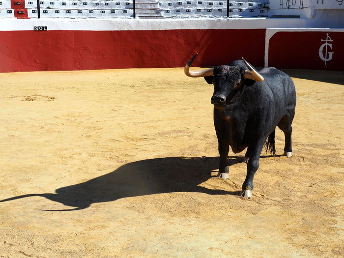 Animal Themes Mammal Animal One Animal Domestic Animals Vertebrate Cattle Shadow Sunlight Domestic Day Black Color Bull - Animal Standing Nature Domestic Cattle No People Horned Herbivorous Bull Statue Museum Mijas Arena Andalusien