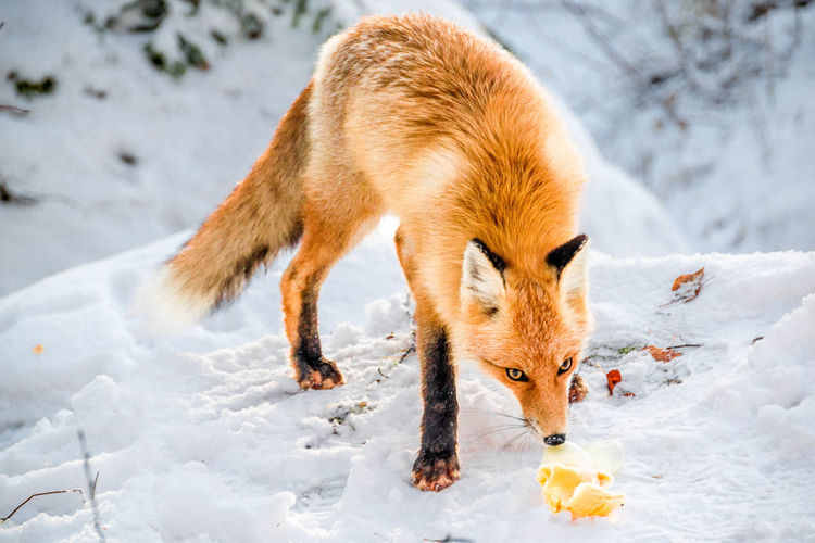 Close-Up Of Fox Standing On Snow Field