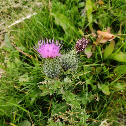 Close-up of purple thistle flowers on field