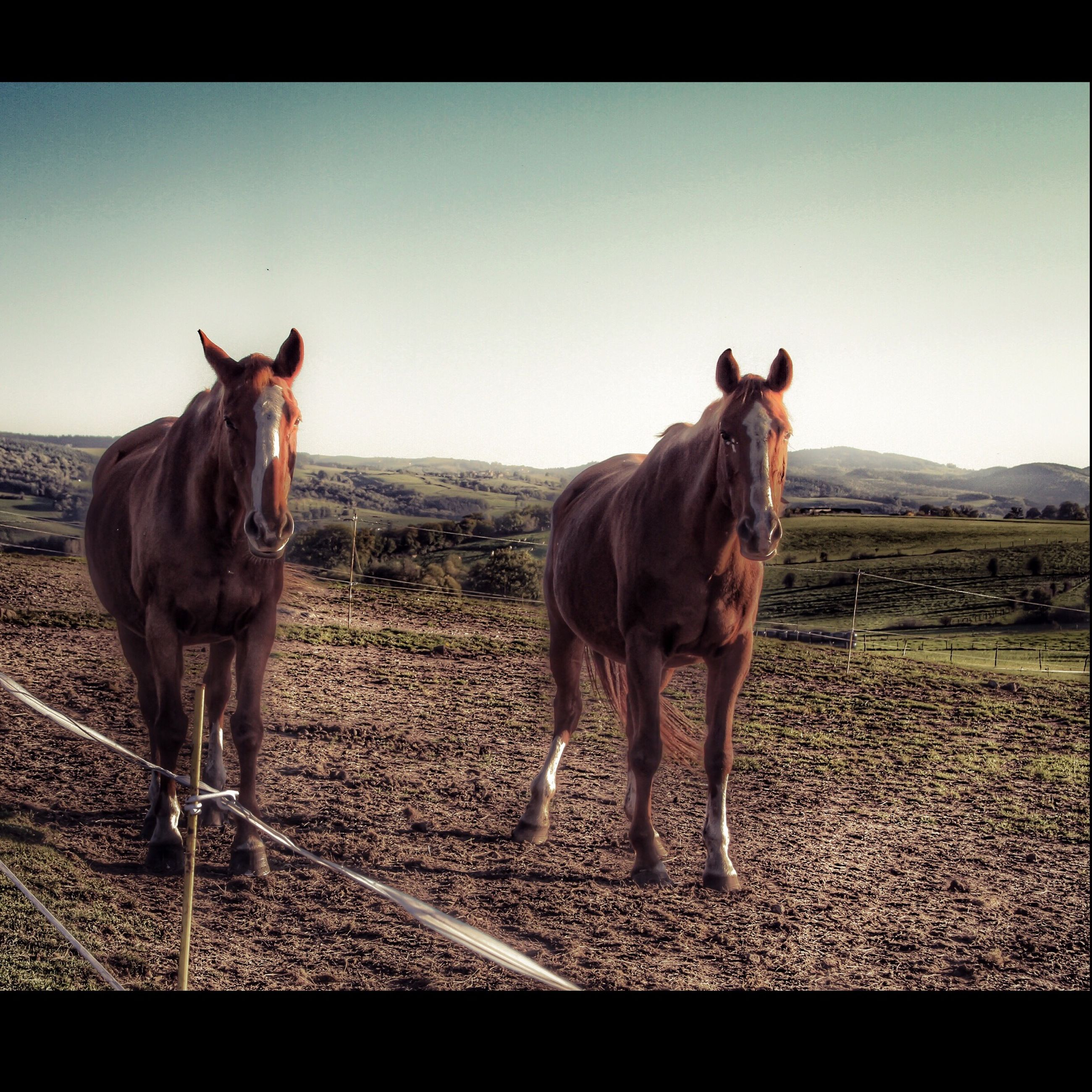 animal themes, domestic animals, mammal, clear sky, transfer print, one animal, standing, pets, copy space, auto post production filter, field, full length, horse, landscape, two animals, livestock, zoology, vertebrate, looking at camera, side view