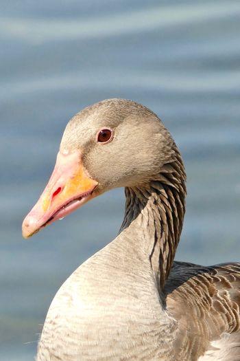 Close-up of female canada goose
