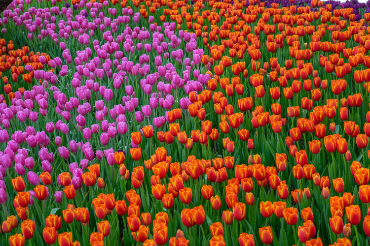 Flowers in the garden Full Frame Flower Backgrounds Flowering Plant Freshness Plant Abundance Beauty In Nature Red No People Tulip Fragility Nature Multi Colored Growth Day Vulnerability  Flowerbed Orange Color Large Group Of Objects Flower Head Gardening Ornamental Garden
