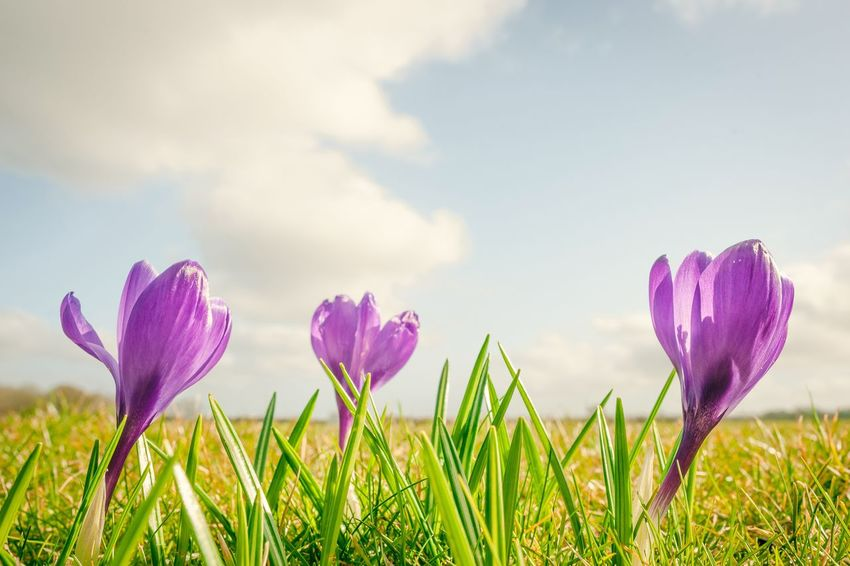 Purple crocus flowers on a green meadow Crocus Springtime Spring Plant Flower Flowering Plant Growth Beauty In Nature Sky Freshness Day Fragility Inflorescence Land Field Pink Color Cloud - Sky Close-up Vulnerability  Petal No People Purple Nature