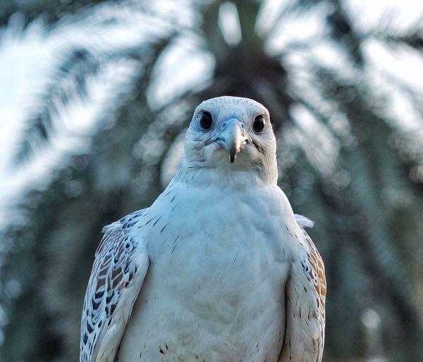 Close-up of a falcon bird