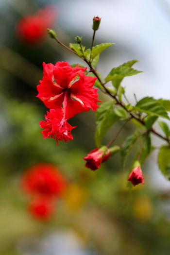 Ibiscus flower Beauty In Nature Flower Flowers Ibiscus Macro Red