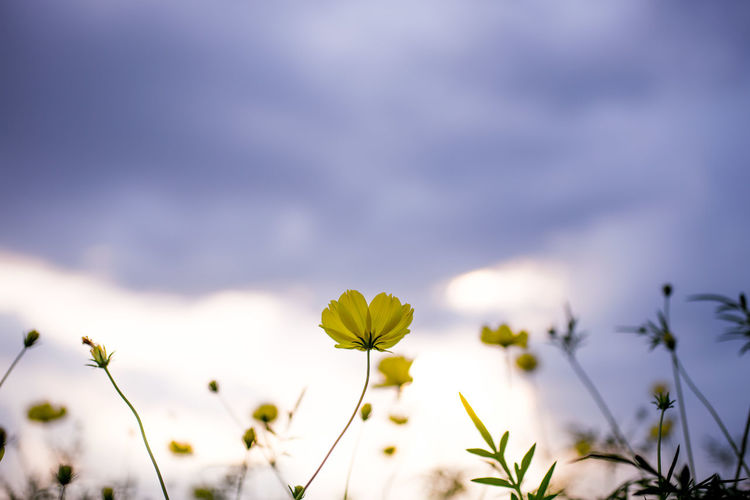 Beauty In Nature Blooming Close-up Cosmos Flower Day Flower Flower Head Fragility Freshness Growth Nature No People Outdoors Petal Plant Sky Springtime Yellow
