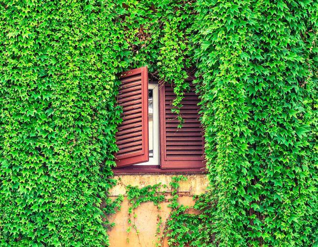 Window amidst ivy plants