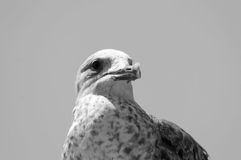 Animal Themes Animals Bird Bird Photography Birds Birds Of EyeEm  Birdwatching Black & White Black And White Blackandwhite Blackandwhite Photography Bnw Eye4photography  EyeEm EyeEm Best Shots EyeEm Bnw EyeEmBestPics Monochrome Seagull Seagulls