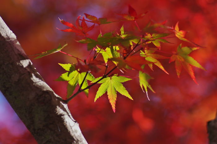天龍寺 紅葉2016 紅葉 紅葉🍁 Maple Leaf Nature Beauty In Nature Autumn Nature Photography Nature_collection