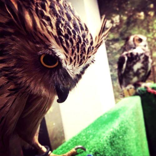 ふくろうカフェ フクロウ One Animal Bird Close-up Japan