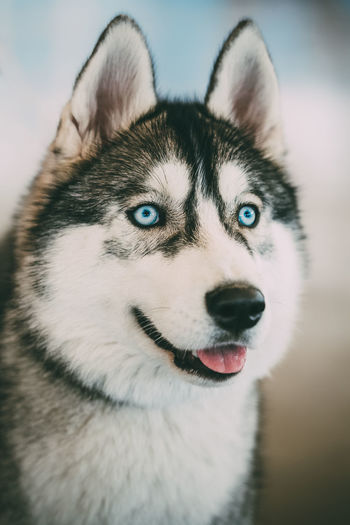 Close up blue-eyed Gray Adult Siberian Husky Dog portrait Sibirsky Animal Beautiful Blue Eyes Blue-eyed Breed Cute Dog Gray Husky Lovely Pedigree Pet Portrait Pure Purebred Siberian Husky White Young