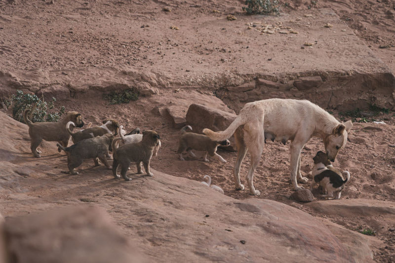 Dog and her puppies in petra